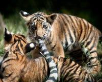 De Welpen van de tijger Stock Fotografie