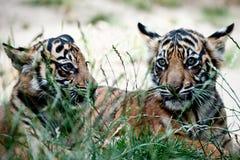 De Welpen van de tijger Stock Afbeeldingen