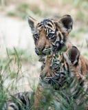 De Welpen van de tijger stock foto