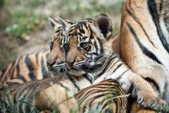 De Welpen van de tijger royalty-vrije stock afbeeldingen