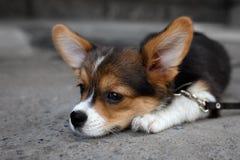 De Welse hond van Corgi Pembroke Royalty-vrije Stock Foto