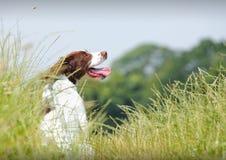 De werkende hond van het Spaniel van de Aanzetsteen stock afbeelding