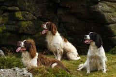 De werkende Honden van het Aanzetsteenspaniel Stock Fotografie