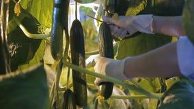 De werknemer snijdt fruit binnen van komkommer in serre op hydrocultuur stock video