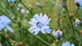 De wesp bestuift en verzamelt nectar met stuifmeel op witlof, zitten de vliegen op een blauwe bloem, langzame motie stock footage