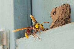 De wesp maakt een Bijenkorf Stock Afbeelding