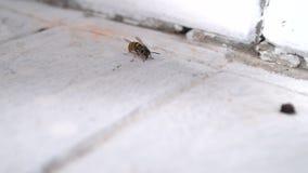 De wesp probeert op te stijgen stock footage