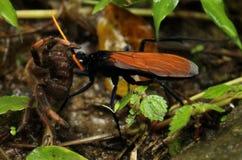 De wesp van de tarantulahavik met doden in mond, Costa Rica Royalty-vrije Stock Afbeeldingen