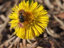 De wesp verzamelt nectar op een bloem Een Knop van een installatie foalfoot Royalty-vrije Stock Fotografie