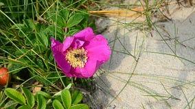 De wesp verzamelt nectar van een bloem stock videobeelden