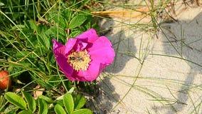 De wesp verzamelt nectar van een rozebottel stock video