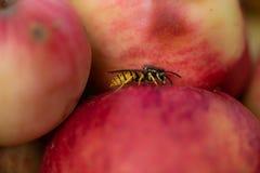 De wesp zit op een appel in de herfst royalty-vrije stock fotografie