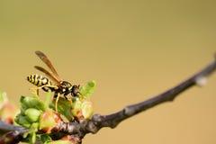 De wesp zoekt iets Stock Fotografie