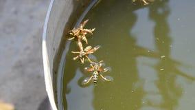De wespen Polistes drinken water De wespen drinken water van de pan, zwemmen op de oppervlakte van het water, dalen niet stock footage
