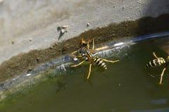 De wespen Polistes drinken water De wespen drinken water van de pan, zwemmen op de oppervlakte van het water, dalen niet Royalty-vrije Stock Foto