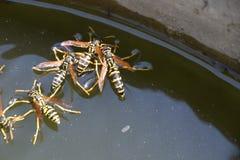 De wespen Polistes drinken water De wespen drinken water van de pan, zwemmen op de oppervlakte van het water, dalen niet Royalty-vrije Stock Fotografie