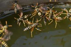 De wespen Polistes drinken water De wespen drinken water van de pan, zwemmen op de oppervlakte van het water, dalen niet Stock Fotografie