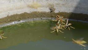 De wespen Polistes drinken water De wespen drinken water van de pan, zwemmen op de oppervlakte van het water, dalen niet stock videobeelden