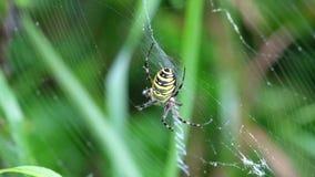 De wespspin zit in een cirkelweb en zuigt zijn prooi stock video
