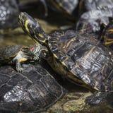 De westelijke geschilderde zitting van schildpad chrysemys picta bij rots het zonnebaden Stock Foto