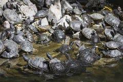 De westelijke geschilderde zitting van schildpad chrysemys picta bij rots het zonnebaden Royalty-vrije Stock Foto's