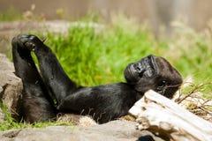 De westelijke Gorilla van het Laagland Royalty-vrije Stock Fotografie
