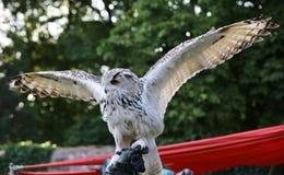 De westelijke Siberische Eagle-uil (Bubo-bubosibiricus) spreidt zijn vleugels uit royalty-vrije stock afbeelding