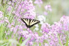 De westelijke vlinder van Swallowtail van de Tijger stock fotografie
