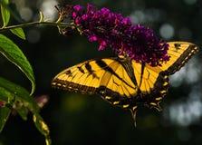 De westelijke vlinder van Swallowtail van de Tijger Royalty-vrije Stock Afbeeldingen