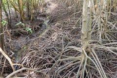 De wetenschappelijke naam van de mangroveboom: Rhizophoramucronata stock fotografie