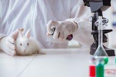 De wetenschapper die proef op dieren in laboratorium met konijn doen stock afbeelding