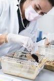 De wetenschapperwerken met laboratoriummuis Stock Afbeelding