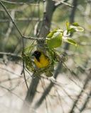 De weversvogel bouwt nieuw groen grasnest op de boom Beroemde wijngaard Kanonkop dichtbij schilderachtige bergen bij de lente Royalty-vrije Stock Afbeeldingen