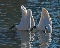 De Whooperzwaan, Cygnus-cygnus neemt voedsel op de zeebedding op royalty-vrije stock foto's