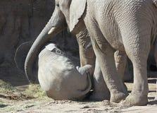 De Wiegen van een Moederolifant Haar Baby met Haar Boomstam Royalty-vrije Stock Afbeeldingen