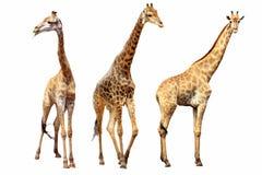 De wijfjes en de mannetjes van giraffen Royalty-vrije Stock Foto's