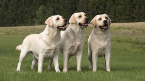 De wijfjes van Labrador Stock Fotografie