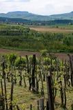 De wijn van Badacsony Royalty-vrije Stock Afbeeldingen