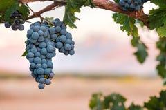 De wijndruiven van Shiraz bij zonsondergang royalty-vrije stock fotografie