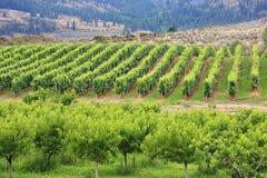 De wijngaard Stock Afbeelding