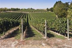 De wijngaard Stock Fotografie