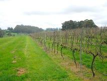 De wijngaard is een aanplanting van druif-dragende wijnstokken, hoofdzakelijk voor wijnbereiding in Bowral-Stad in Nieuw Zuid-Wal stock afbeeldingen