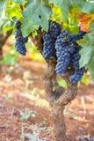 De wijngaard met insecticide, landbouwlandbouwbedrijf, purpere druif wordt behandeld die royalty-vrije stock afbeelding