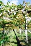 De wijngaard van Albariño Stock Afbeelding