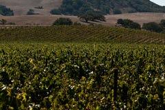 De Wijngaard van Califonria Stock Foto's