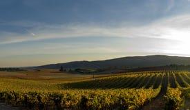 De wijngaard van de druif bij de zonsondergang Stock Afbeelding