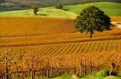 De Wijngaard van de herfst Stock Foto