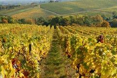 De wijngaard van de herfst Stock Afbeeldingen
