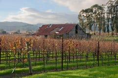 De Wijngaard van de herfst na Oogst Stock Afbeeldingen