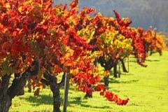 De Wijngaard van de herfst/Vallei Napa Stock Afbeelding